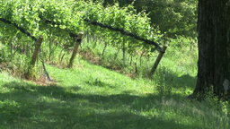 Grape vines at local vineyard. (1 of 2) Footage