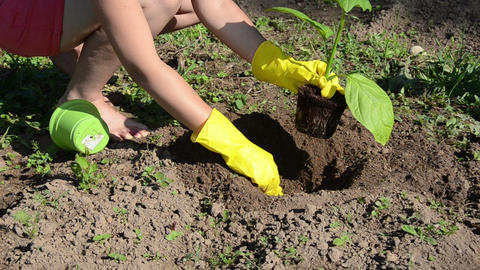 woman stain gloves dig hole in the soil plant eggplant seedling Footage