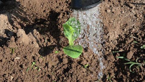 cucumber seedling growing garden soil irrigated watering Footage