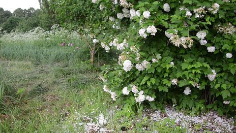 abundant snowball petals around the bush Footage