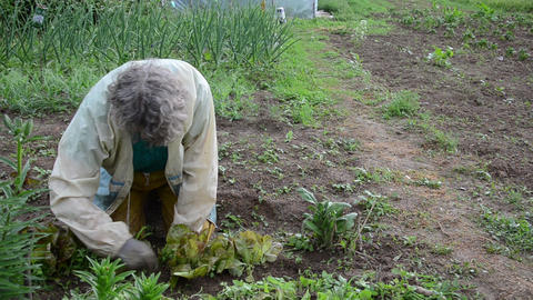 woman carefully grub small weeds between the salad Live Action