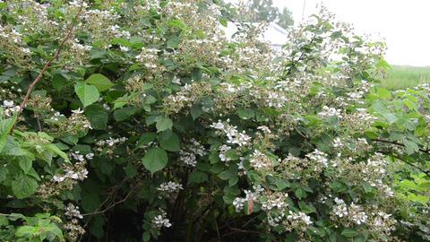 deflorate green blackberry bush in the rain Footage