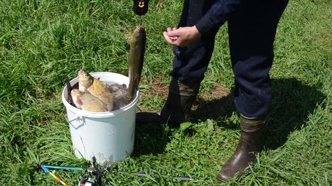 fisher weighs shiny big tench Footage