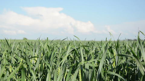 young green corn sways nice in the wind on blue sky background Footage