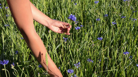 female arm gather cornflower long stems make them nice bouquet Footage