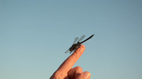 on woman finger tip sits damselfly wings move in the wind Footage