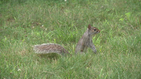 Squirrel rummaging through the forest (1 of 4) Footage