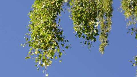 branch of birch tree with leaves move in wind against blue sky Footage