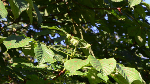 Closeup bunch of small grow conker fruits and leaves in summer Footage