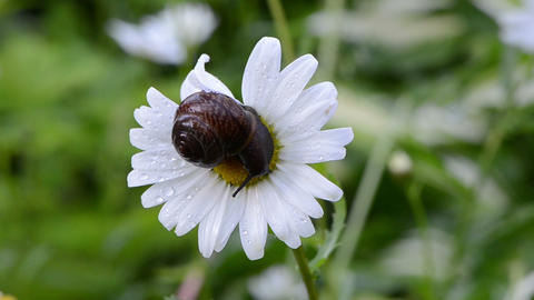 wet snail on daisy flower bloom center covered with morning dew Footage