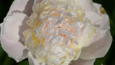 Closeup of dewy peony flower bloom bud covered with water drops Footage