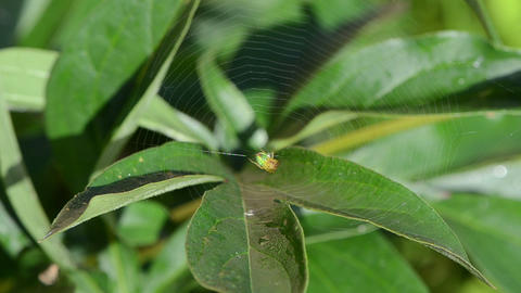 green spider sit in spider web on dewy plant leaf and birds sing Footage