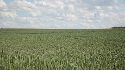 Agriculture wheat field plants swing in wind and cloudy sky Footage