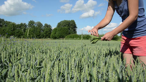 Sexy girl in pink shorts pick wheat ears in agricultural field Footage