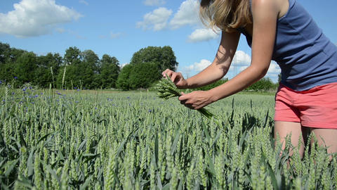 Cute girl in pink shorts pick wheat ears in agricultural field Footage
