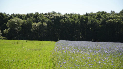 Agricultural blue cornflower field and green meadow near forest Footage