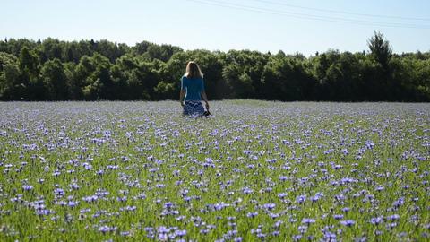 woman walk blue cornflowers field. Recreation in farmland Footage