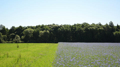 Agricultural blue bluebottle flowers field and meadow by forest Footage
