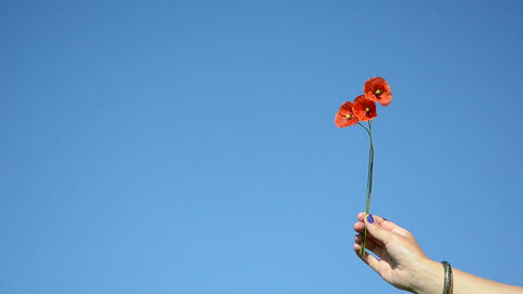 Woman hand hold poppy flower blooms on background of blue sky Footage