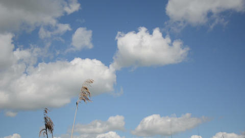 Reed stems move in wind against blue cloudy sky Footage