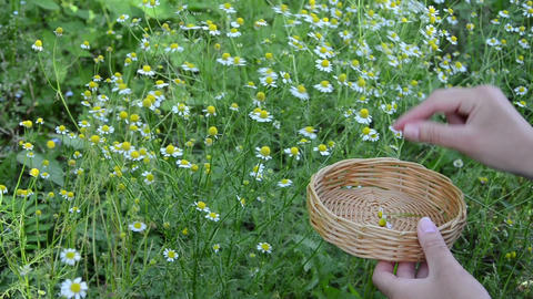 girl hand pick chamomile herb flower bloom to wicker dish Footage