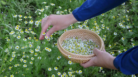 female hand pick camomile herb flower bloom to wicker dish Footage