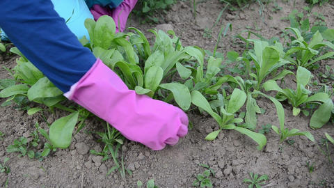 farmer hands in rubber gloves grub up weeds marigold plants Footage