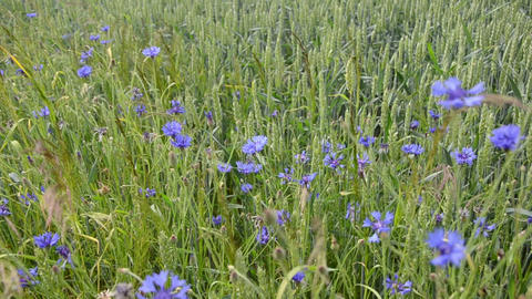 natural blue wild cornflowers bluet in agriculture wheat field Footage