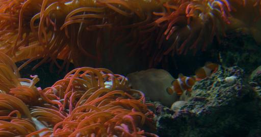 clownfish anemone 02 Footage