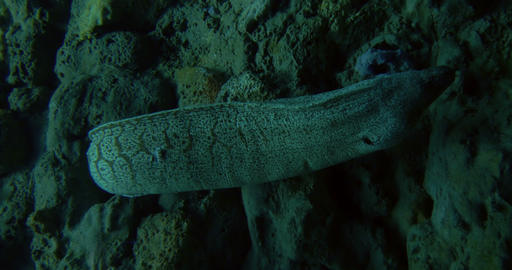 mediterranean moray 01 Footage