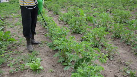 farmer spraying with pesticides potato from pests Live Action