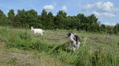 in the meadow graze goat and small black white baby goatling Footage