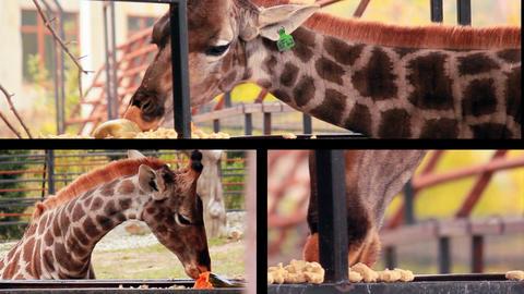 Giraffe eating pumpkin Archivo