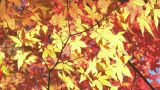 Autumn Leaves in Yamanashi.Japan Footage