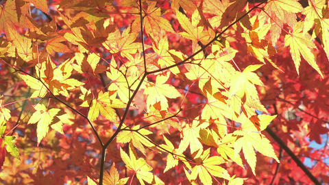 Autumn Leaves in Yamanashi.Japan Stock Video Footage