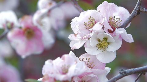 Flower of Flowering Quince in Showa Kinen Park,Tokyo,Japan Stock Video Footage