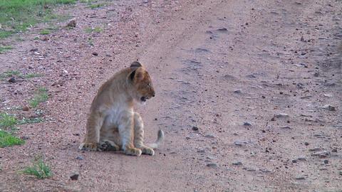 Leopard taking a rest Footage