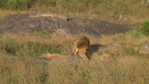 Lion and lioness Stock Video Footage
