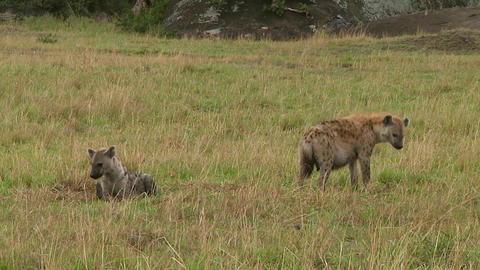 Spotted hyena Stock Video Footage