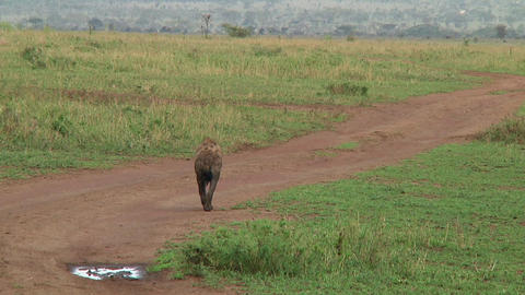 Spotted hyena Live Action