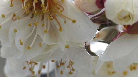 Flower of a Plum and waterdrop,in Oume,Japan Stock Video Footage