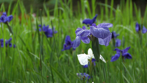 Flower of Japanease Iris,in Showa Kinen Park,Tokyo,Japan Stock Video Footage