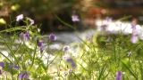 Spring Little Flower In Showa Kinen Park,Tokyo,Japan stock footage