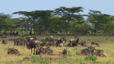 Wildebeest migraton Stock Video Footage