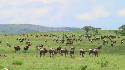 Wildebeest migration Stock Video Footage