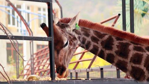 Giraffe eating pumpkin Stock Video Footage