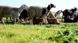 Sheep Shep lamb farm farming countryside ecology grass agriculture animals Footage