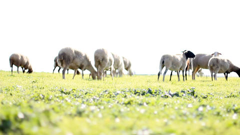 Sheep Shep lamb farm farming countryside ecology grass... Stock Video Footage