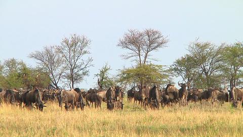 Wildebeest migration Stock Video Footage