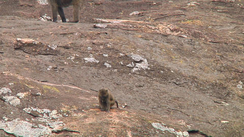 Olive baboon Stock Video Footage